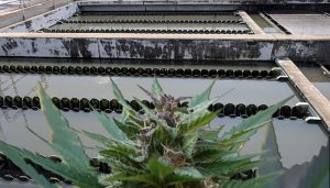 Drug testing of wastewater has identified that Tasmanians are the highest users of cannabis in the nation's capital city areas.